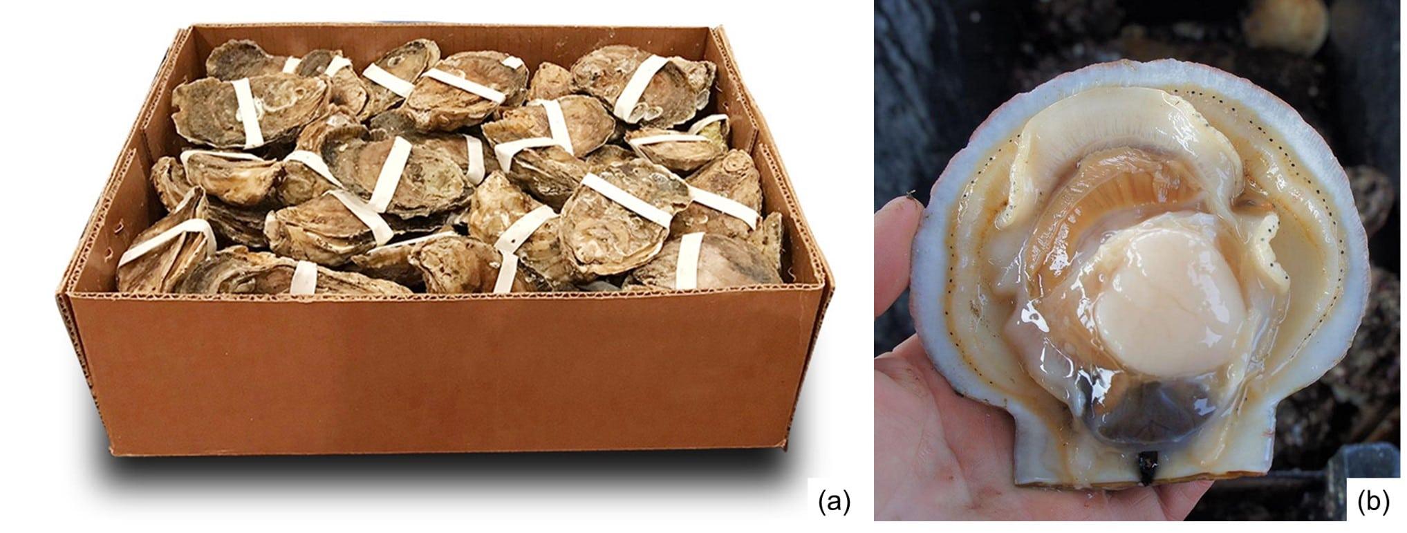 Fig. 5. Ostras envueltas con gomas elásticas para su procesado por HPP. Fuente: HPP of Virginia