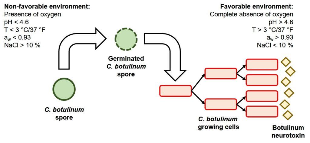 Figura 3. Ciclo de vida de C. botulinum y condiciones que previenen (izquierda) y favorecen (derecha) el crecimiento de sus esporas